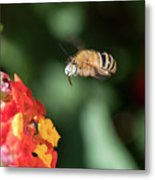 Bee, Bumblebee, Flying To A Flower, In Marseille, France Metal Print