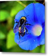 Bee Covered With Pollen On Morning Glory 3521t Metal Print