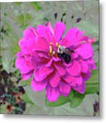 Bee Feeding From Pink Zinnia Metal Print