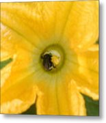 Bee In Squash Blossom Metal Print
