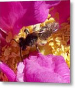 Bee In The Rugosa Metal Print