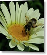 Bee On A Daisy Metal Print