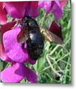 Bee On A Sweetpea 2 Metal Print