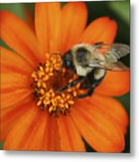 Bee On Aster Metal Print