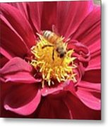 Bee On Beautiful Dahlia Metal Print