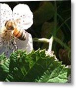 Bee On Blackberry Blossom Metal Print