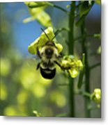 Bee On Broccoli Flower Metal Print