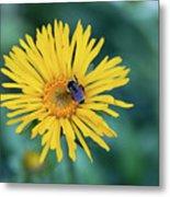 Bee On Curlyhead Goldenweed Metal Print
