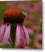 Bee On Echinacea Metal Print
