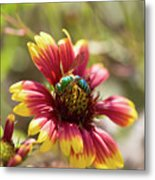 Bee On Gaillardia Metal Print