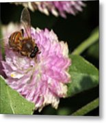 Bee On Gomphrena Metal Print