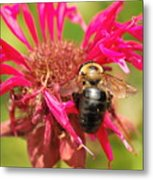 Bee On Tea Bloom Metal Print