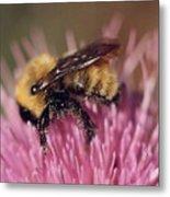 Bee On Thistle 103 Metal Print