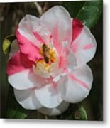 Bee On White And Pink Camellia Metal Print