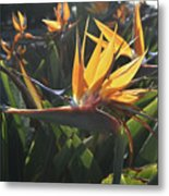 Bee Resting On The Petals Of A Bird Of Paradise  Metal Print