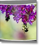Bees On Butterfly Bush Framed Metal Print