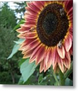 Bees On Sunflower 106 Metal Print