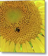 Bees Share A Sunflower Metal Print