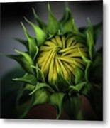 Beginnings Sunflower Xiii Metal Print