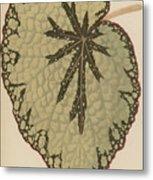 Begonia Marshallii  Metal Print