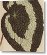 Begonia Rex Metal Print