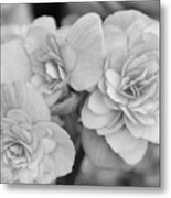 Begonias In Black And White Metal Print
