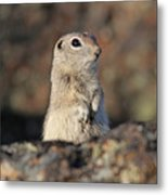 Belding Ground Squirrel Metal Print