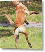 Belgian Shepherd Dog Metal Print