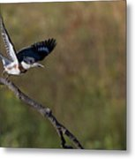 Belted Kingfisher Liftoff Metal Print