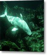 Beluga Whale 5 Metal Print