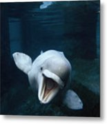 Beluga Whale Swimming With An Open Metal Print
