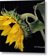 Bending Sunflower Metal Print