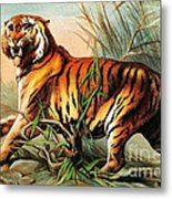 Bengal Tiger, Endangered Species Metal Print