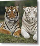 Bengal Tiger Team Metal Print