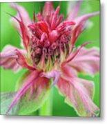 Bergamot Flower Metal Print
