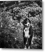 Bernese Mountain Dog Black And White Metal Print