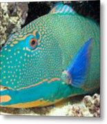 Bicolor Parrotfish Metal Print