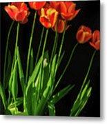Bicolor Tulips Metal Print