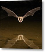 Big Brown Bat Reflection Metal Print