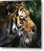 Big Cat No 60 Metal Print