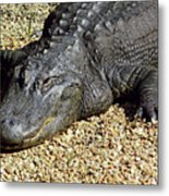 Big Gator Metal Print