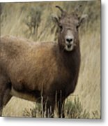 Big Horn Ewe-signed-#7480 Metal Print