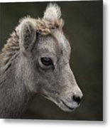 Big Horn Lamb Metal Print