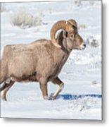 Big-horn Ram In Winter Metal Print