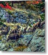 Big Horn Sheep - Close-up Metal Print