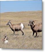 Big Horn Sheep Family Metal Print