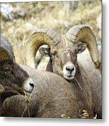 Big Horn Sheep Grazing Metal Print