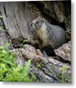 Big Tree Trail - Marmot - Sequoia National Park - California Metal Print