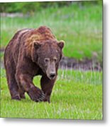 Big Ugly Grizzly Boar Claws Metal Print