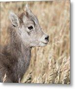 Bighorn Lamb Metal Print